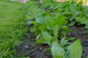 野菜の新芽3