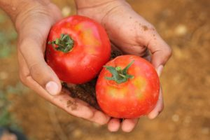 トマトをもつ手