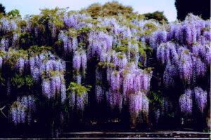 鬼滅 藤の花イメージ1